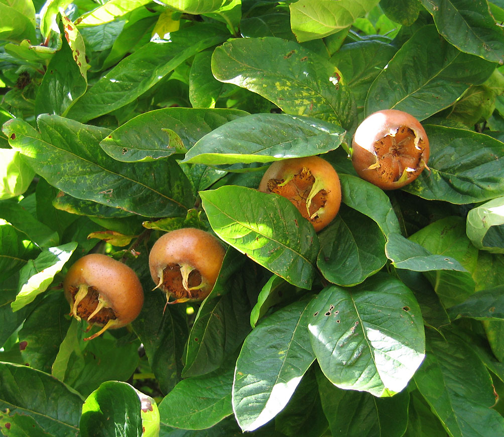 Medlar fruit and leaves, photo by Andrew Dunn and used via Creative Commons License.